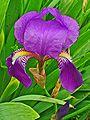El Iris o lirio en la Cosmética natural