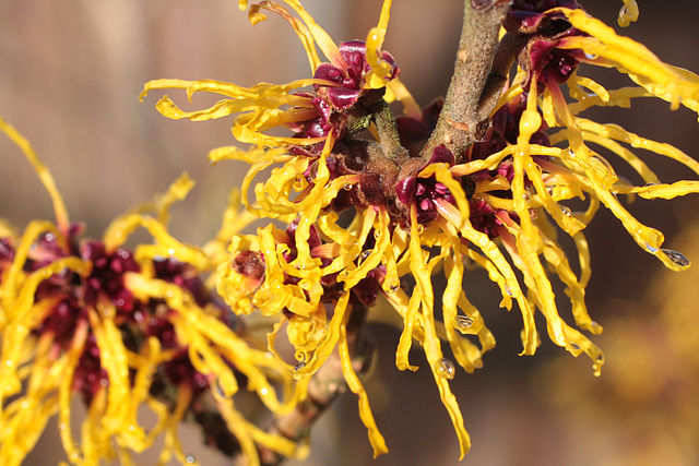 """Witch Hazel"" by Si Griffiths - Own work. Licensed under Creative Commons Attribution-Share Alike 3.0 via Wikimedia Commons - http://commons.wikimedia.org/wiki/File:Witch_Hazel.jpg#mediaviewer/File:Witch_Hazel.jpg"