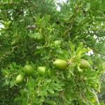 El aceite de Argan y la Cosmética Natural