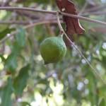 Nuez de Macadamia y Cosmética Natural