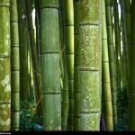 Ritual para el empleo de las Savias de Bambú de dulkamara