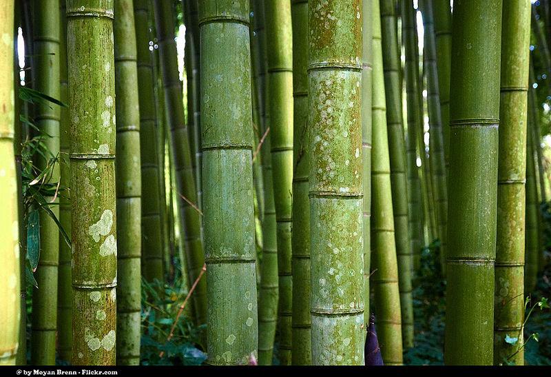 Bamboo_(8679388589)
